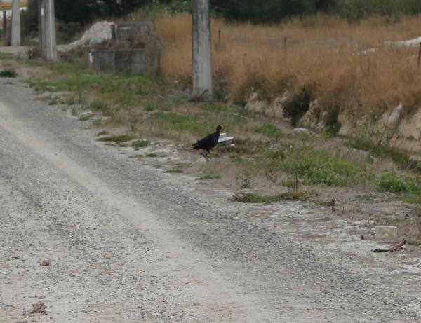 Pukeko - Part of the back of the factory wildlife